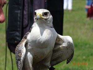 09 Raphael Falconry at Walkern Magna Carta Fair 27 06 2015 Andrew Lilly 03