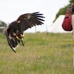 09 Raphael Falconry at Walkern Magna Carta Fair by Peter Ravilious 02